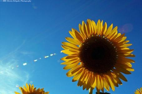 solsikke4